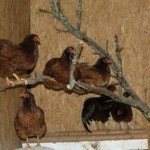Why Chickens Need a Roost