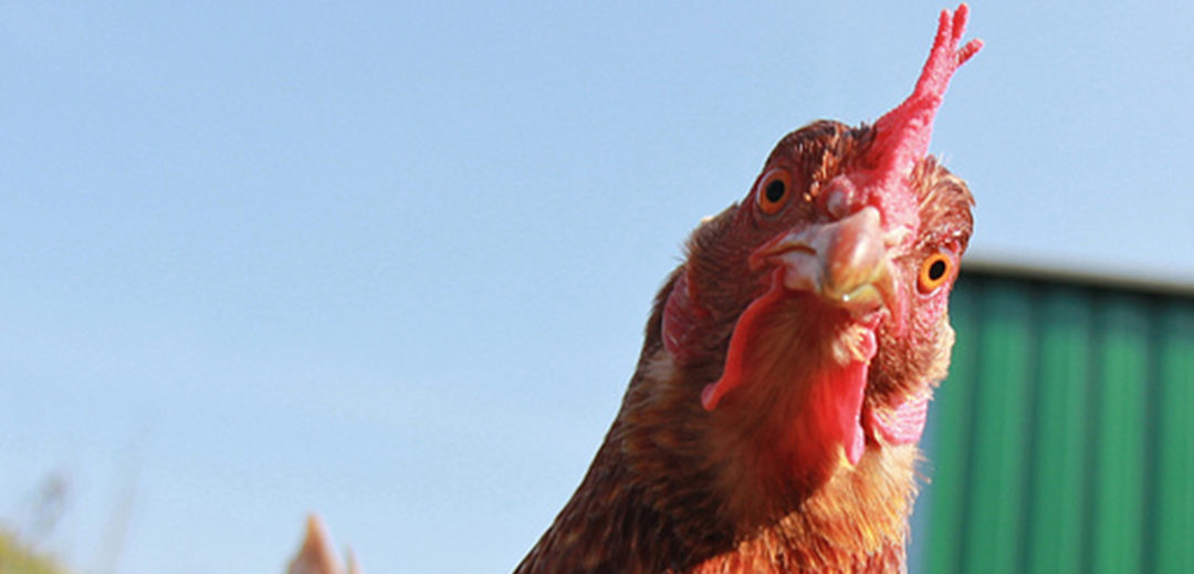 How to keep chickens happy