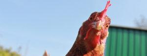 raising pet chicken happy chickens