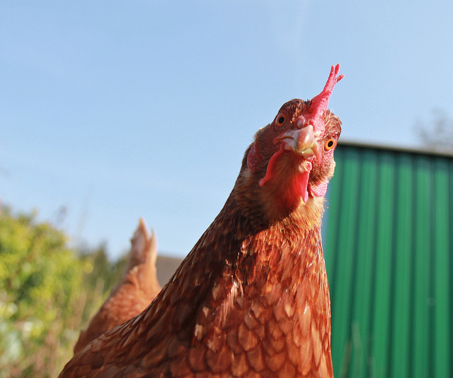 What Do Chickens Eat? Secrets to Superior Chicken Feed