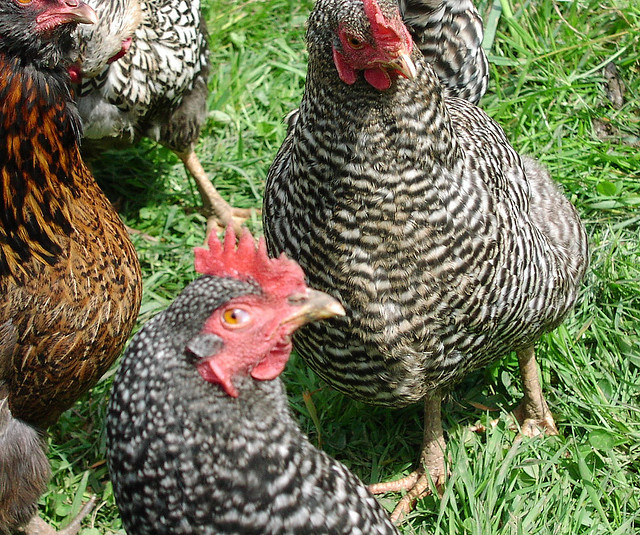 The Nitty Gritty on Barred Rock Chickens