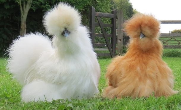 Silkie Chickens Make the Best Pets