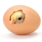 Baby Chickens FAQ – how to look after baby chicks